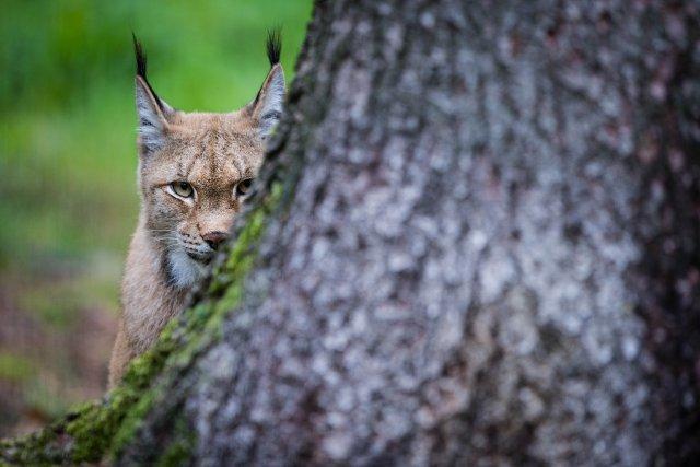 Un lynx d'Europe... (PHOTO DAVID EBENER, AFP)