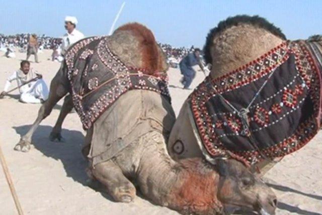 Oubliez Michael Vick et les combats de chiens, au Pendjab pakistanais (dans... (IMAGE AFPTV)