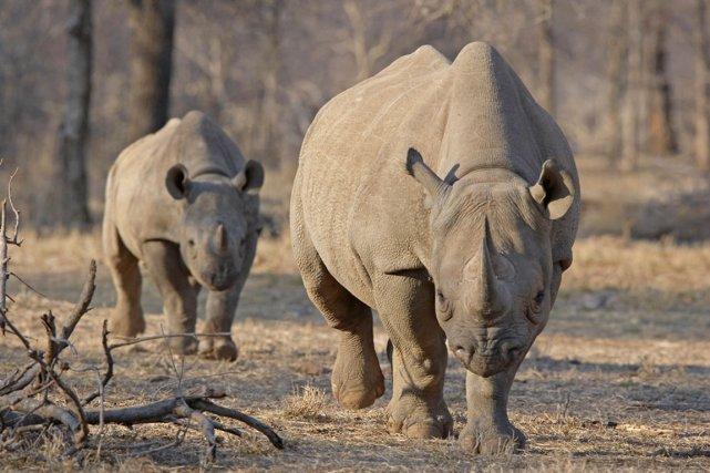 L'Afrique du Sud abrite 80% de la population... (PHOTO TOM KIRKWOOD, ARCHIVES REUTERS)