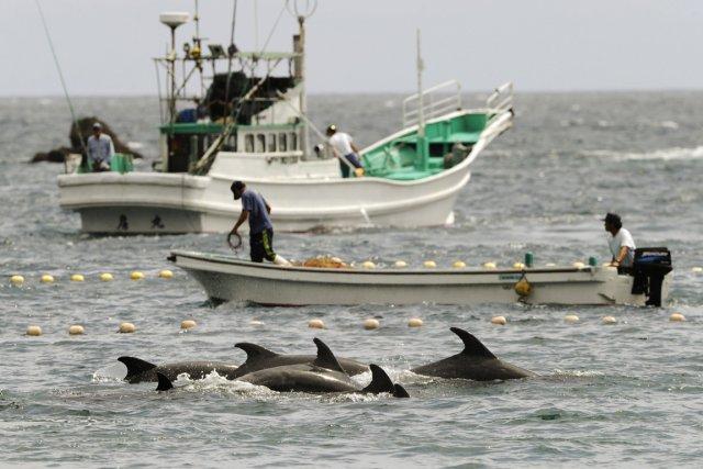 La chasse au dauphin consiste à rassembler des... (PHOTO ARCHIVES AP/KYODO NEWS)