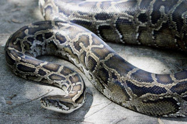 Un python birman... (Photo archives AFP)