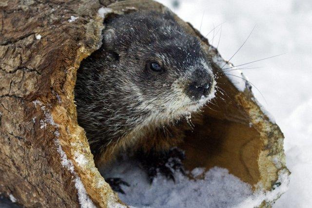 Au Canada, la marmotte Shubenacadie Sam, en Nouvelle-Écosse,... (Photo ANDREW VAUGHAN, PC)