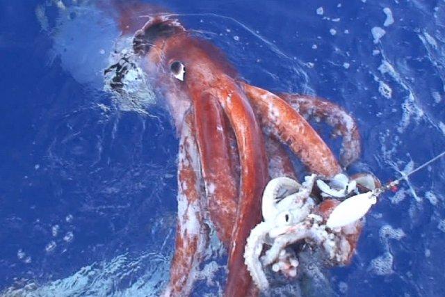 Uncalamar géant.L'un des spécimens perdus dans la tempête... (Photo KOJI SASAHARA, Archives PC)