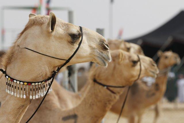 Selon deux scientifiques israéliens, les chameaux domestiques dans... (PHOTO KARIM SAHIB, ARCHIVES AFP)