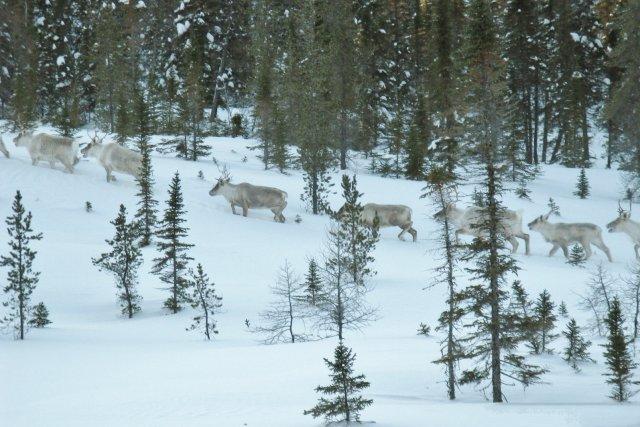 Le plus récent inventaire des populations de caribou... ((Archives))