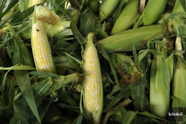 Une course contre-la-montre s'est engagée entre pro et anti-OGM à quelques... (Photothèque Le Soleil)