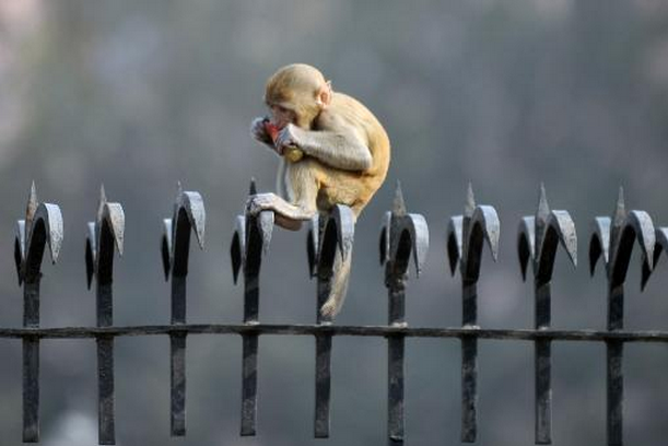 Un macaque rhésus à New Delhi.... (Photo AFP)