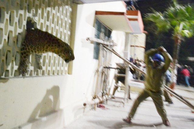 Le léopard est coincé dans un trou fait... (PHOTO AFP)
