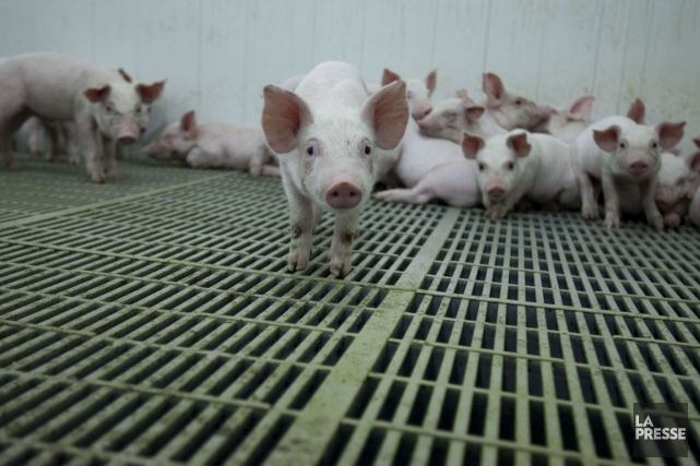 Selon les Éleveurs de porcs du Québec, ce... (PHOTO HUGO-SÉBASTIEN AUBERT, archives LA PRESSE)