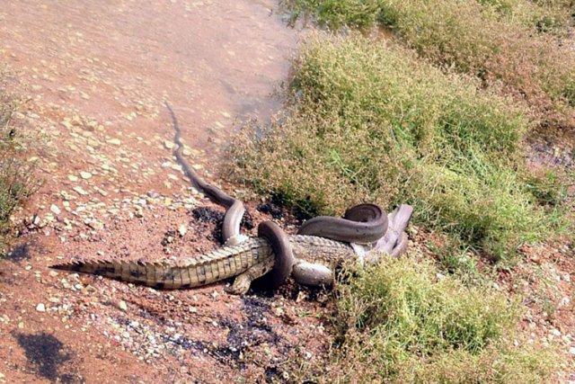 Le crocodile a longtemps bataillé pour maintenir sa... (Photo: AFP)
