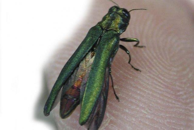 L'agrile du frêne, un insecte asiatique, est apparu... (photo ACIA)
