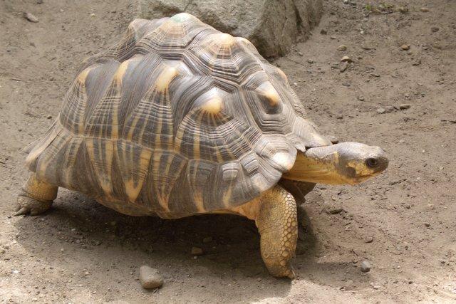 La tortue de Madagascar risque de disparaître, du... (PHOTO WIKIPÉDIA)