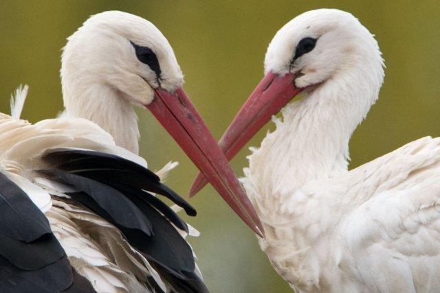Une histoire d'amour entre deux cigognes s'est avérée plus forte que les... (Photo Boris Roessler, AFP)