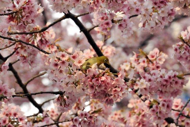 Symbole s'il en est du printemps japonais, la floraison des cerisiers a... (Photo Yoshikazu TSUNO, AFP)