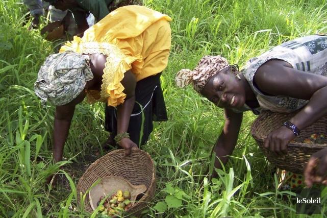Le karité est récolté uniquement par les femmes.... (Photo Yves Therrien, Archives Le Soleil)