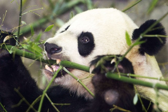Le régime alimentaire des pandas géants est composé... (Photo PAUL J. RICHARDS, AFP)