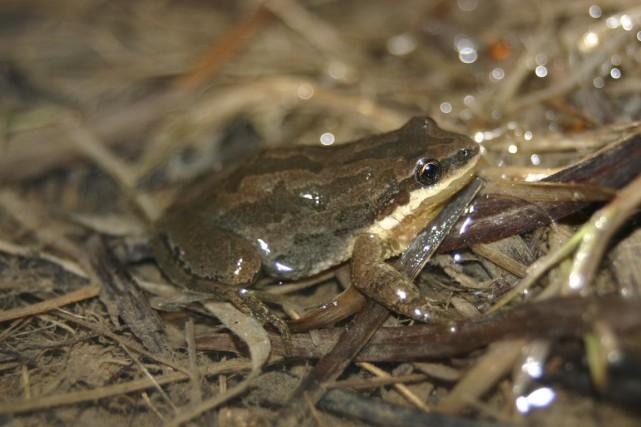 La rainette faux-grillon a vu son habitat diminuer... (Photo fournie par Ciel et Terre)