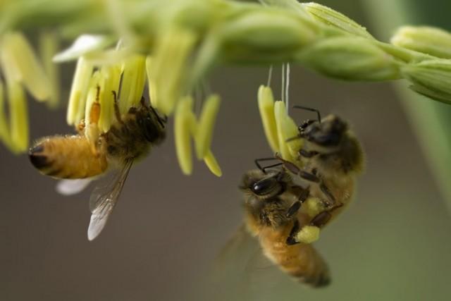 Du venin d'abeille pour combattre la sclérose en plaques, du pollen pour la... (Photo Sherjaca/shutterstock.com)