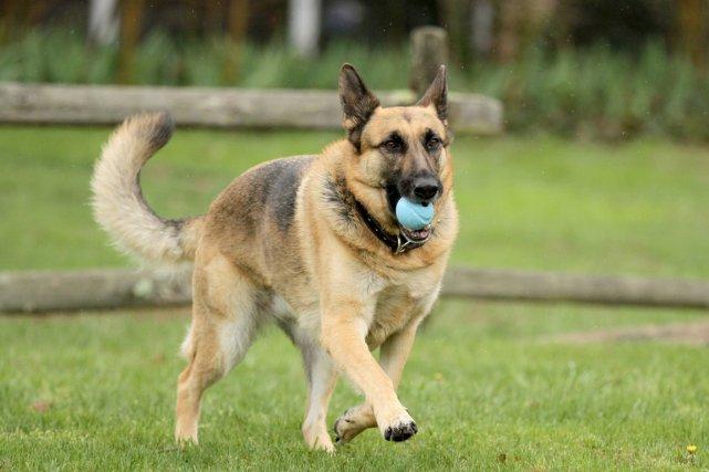 L'enregistrement des chiens devient obligatoire dans les 19... (Photo archives Associated Press)