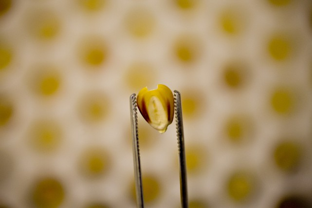 L'auteur souligne que les risques potentiels des OGM... (Photo Daniel Acker, archives Bloomberg)