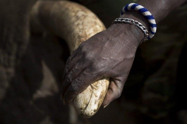 Les trafics très lucratifs de l'ivoire - recherchée... (Photo Ben Curtis, Archives AP)