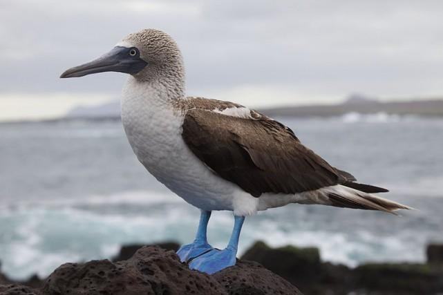 Un fou à pieds bleus... (Photo wikimedia)