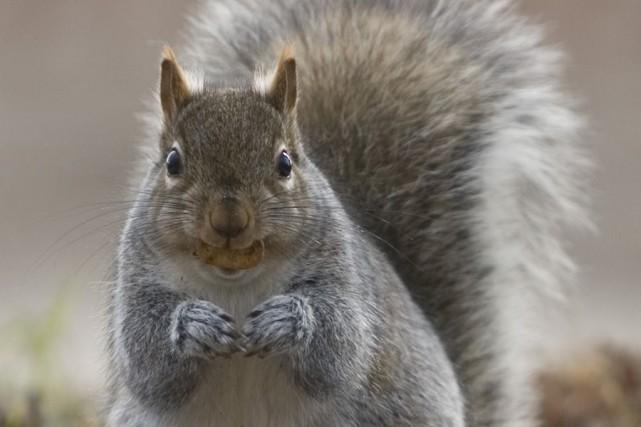 Un adolescent américain a appris à ses dépens que les écureuils n'étaient pas... (Photo: Archives PC)