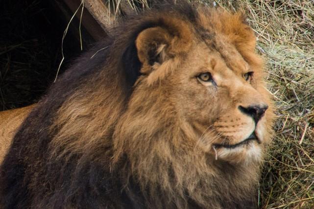 Un lion de 660 livres (près de 300 kg) a été volé d'un centre de soins pour... (Photo Ilnar Salakhiev, archives AP)