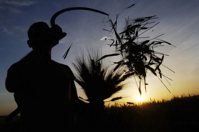 Le blé cultivé sous forte concentration de CO2... (PHOTO MOHAMMED BALLAS, ARCHIVES AP)