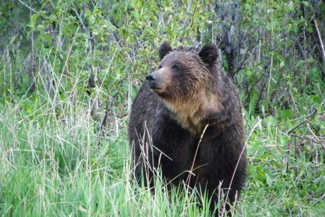 Un ours grizzly en Alberta.... (Archives PC)