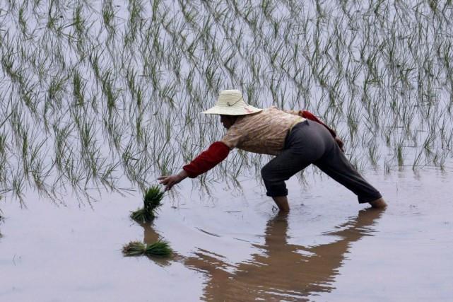 La riziculture requiert une main-d'oeuvre très nombreuse et... (Photo SEAN YONG, Archives Reuters)
