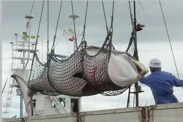 Dans cette photo d'archives, une baleine est amenée... (PHOTO ARCHIVES AP/KYODO NEWS)