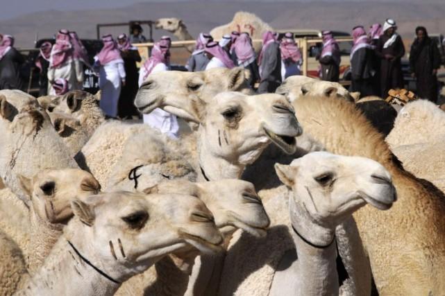 La recommandation de l'OMS concernant les chameaux vise... (Photo Mohamed Alhwaity, archives REUTERS)