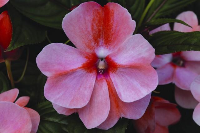 Impatiente de Nouvelle-Guinée «New pacific sweet orange»... (Photo fournie par All-America Selections)