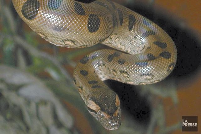 Un anaconda était utilisé par des trafiquants argentins pour protéger une... (Phoro archives La Presse)