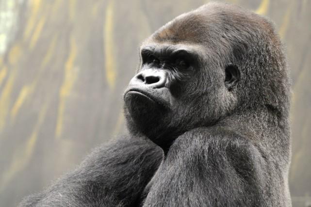 Harambe, un gorille mâle âgé de 17 ans... (Photo archives AFP)