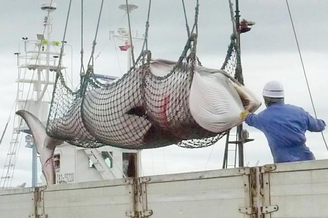 La chasse à la baleine continue dans le... (PHOTO ARCHIVES AP/KYODO NEWS)