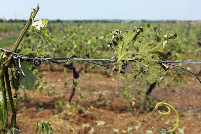 Une vigne endommagée près de Cognac, dan sle... (Photo NICOLAS TUCAT, AFP)
