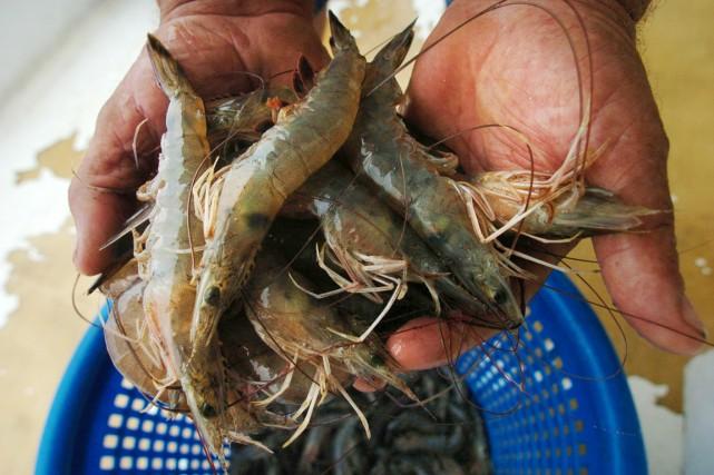 Trois crevettes d'élevage sur quatre consommées à l'échelle... (PHOTO SNDY HUFFAKER, ARCHIVES GETTY IMAGES)