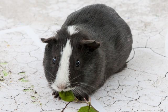 Le cochon d'Inde au pelage noir et au... (Photo AFP)