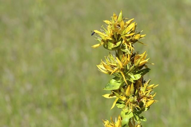 La gentiane jaune par exemple n'est pas seulement... (Photo Digital/Thinkstock)