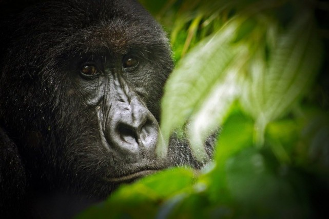 Les rares touristes peuvent déjà aller observer les... (PHOTO VIRUNGA NATIONAL PARK / LuAnne Cadd/AFP)