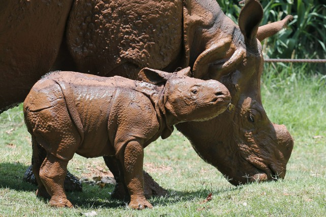 Environ 1160 cas de braconnage de rhinocéros ont... (Associated Press)