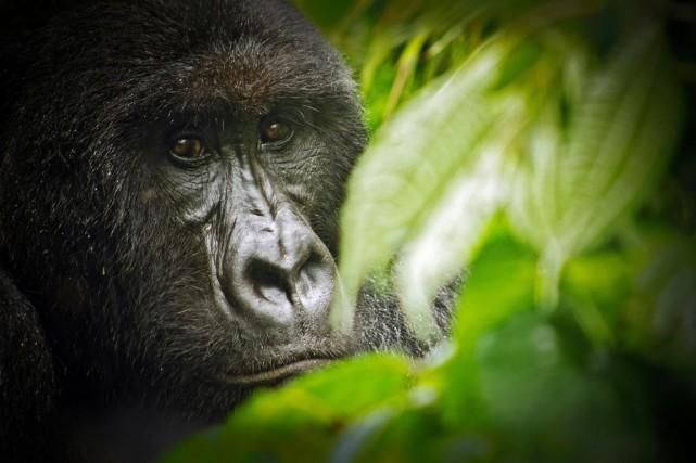 Les gorilles de Cross River n'excéderaient pas 250... (PHOTO LUANNE CADD, ARCHIVES AFP)