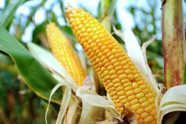 Les cours du maïs «sont minés par l'anticipation... (Photo archives AFP)
