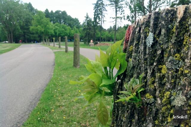 Lorsque l'agrile infecte un frêne, des pousses minces... (Le Soleil, Jean-François Cliche)