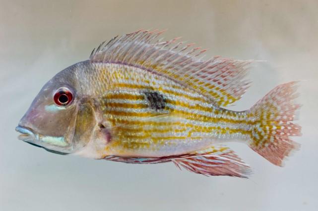 Des poissons de la famille des Cichildés ont... (Photo archives La Presse Canadienne)