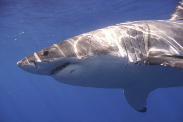Un requin qui avait été ramené par la ligne d'un pêcheur, a mordu sans le tuer... (Photo archives Reuters)