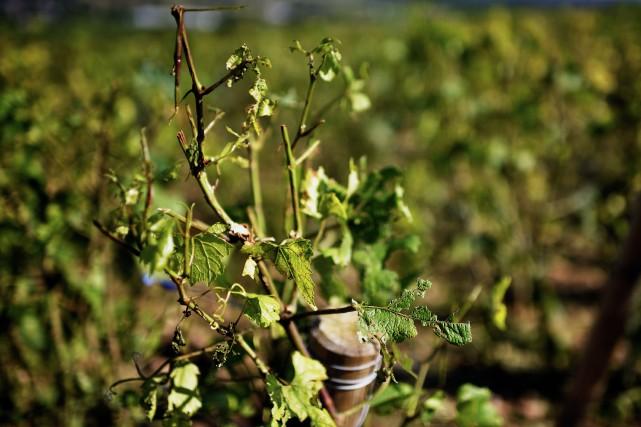 Une vigne endommagée... (Photo JEFF PACHOUD, Archives AFP)