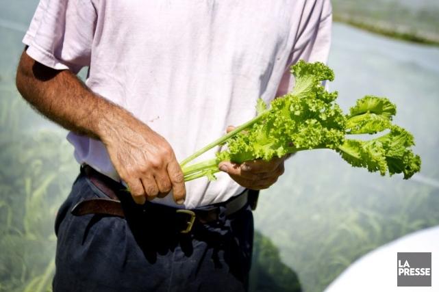 La moutarde est une plante qui se cultive... (PHOTO MARCO CAMPANOZZI, LA PRESSE)
